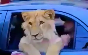 Лев катается в машине